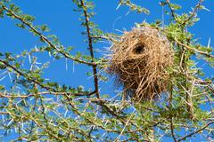 Bird nest of weaver Stock Photos