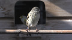 Gray brown canary Stock Footage
