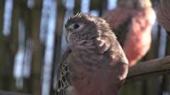 Close up Pink bourke parakeet Stock Footage