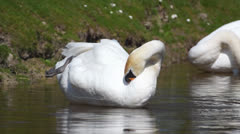 Swan - stock footage