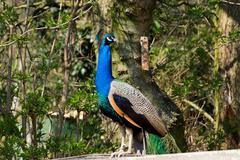Indian peafowl Stock Photos