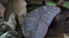 Butterfly with blue wings flying away in slow motion - stock footage