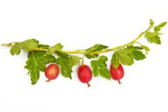 Gooseberries on a branch Stock Photos