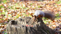 Squirrel chooses one of several nuts lying on a stub Stock Footage