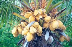 Malayan yellow dwarf (myd) coconuts. Stock Photos