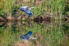 heron over water - stock photo