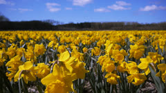 Field of narcis flowers waving in the wind Stock Footage