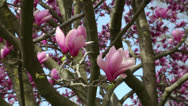 Pink magnolia spring tree Stock Footage