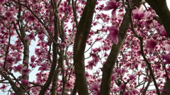 Beautiful pink spring Stock Footage
