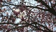 Backlit tulip magnolia tree Stock Footage