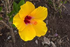 yellow hibiscus flower. - stock photo