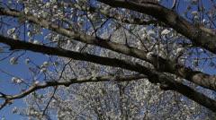 White spring trees Stock Footage