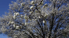 Pretty pear blossoms Stock Footage