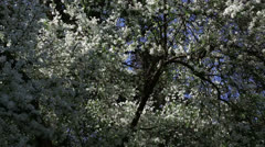 White spring tree Stock Footage