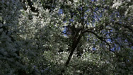 White spring tree Stock Footage