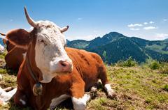 german cow resting on mountain alp - stock photo