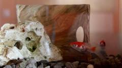 aquarium  golden fishes - stock footage
