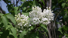 white lilac - stock footage