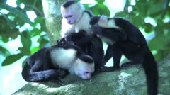 Group capuchin monkey searchings for fleas - stock footage