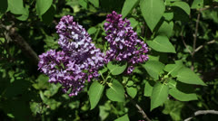Purple lilac bush Stock Footage