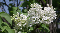 White lilacs flowers Stock Footage