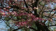 Pink dogwood tree Stock Footage