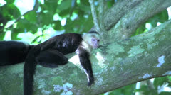 Capuchin Monkey sleeping in a tree Stock Footage