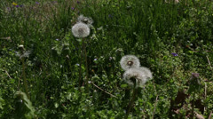 Dandelions Stock Footage