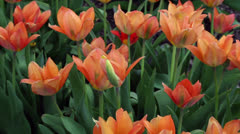Tulip time Stock Footage