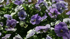 Purple pansies Stock Footage