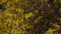 Forsythia Stock Footage
