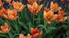 Orange tulips Stock Footage