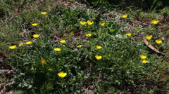 Buttercups Stock Footage