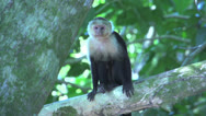 Stock Video Footage of Capuchin Monkey in a tree