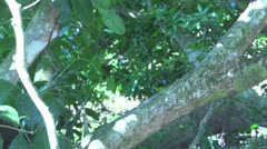 Capuchin Monkey walking down a tree Stock Footage