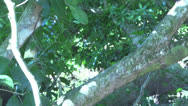 Stock Video Footage of Capuchin Monkey walking down a tree