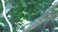 Stock Video Footage of Capuchin Monkey walking down a tree