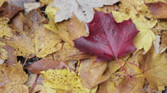 red maple leaf - stock footage