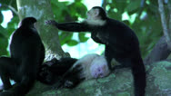 Stock Video Footage of Group capuchin Monkey in a tree