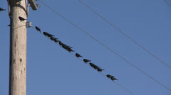 Blackbirds On a Wire - stock footage