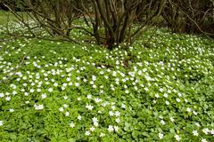 Spring: snowdrop anemones in park Stock Photos