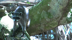 Raccoon scared in a tree Stock Footage