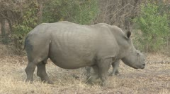 Rhino ans calf walking Stock Footage
