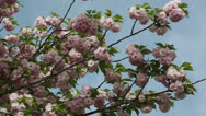 Beautiful pink spring Stock Footage