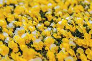 Yellow petunia blooming brilliantly in spring Stock Photos