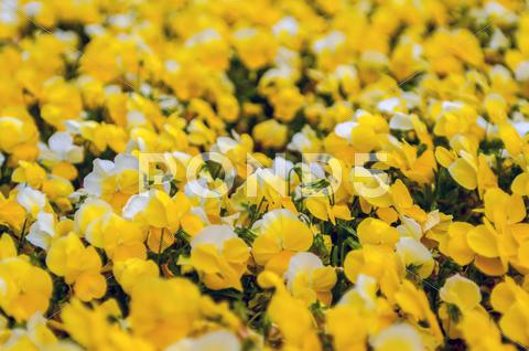 Stock photo of yellow petunia blooming brilliantly in spring