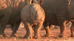 White rhino farming Stock Footage