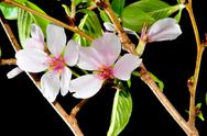 Fruit tree flower on black background Stock Photos
