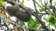 Sloth in a tree moving Stock Footage