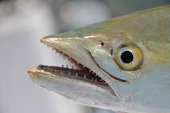 Spanish Mackerel - stock photo